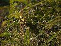 Caesalpinia mimosoides (6781345950).jpg