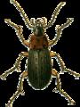 Calathus melanocephalus Jacobson.png