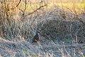 California quail (37585446485).jpg