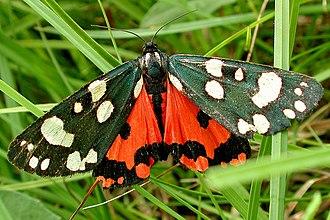 Scarlet tiger moth - Dorsal