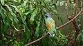 Caloenas nicobarica -Houston Zoo, Texas, USA-8a.jpg