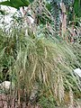 Calopsis paniculata RBGK.JPG