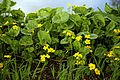 Caltha palustris 'marsh marigold' at RHS Garden Hyde Hall, Essex, England 01.jpg