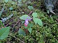 Calypso bulbosa - Flickr - brewbooks (16).jpg
