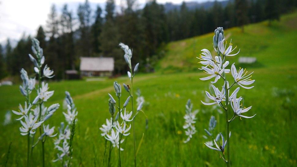 Camassia quamash at Leavenworth Ski Hill