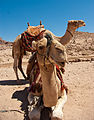 Camel in Petra4.jpg