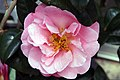 Camellia japonica Pink Icicle 12zz.jpg