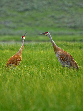 English: Sandhill Cranes in Yellowstone Nation...