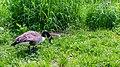 Canada goose (27255292809).jpg