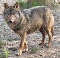 Canis lupus signatus crop.jpg