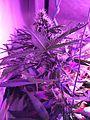 Cannabis 20160411 093249 (26339327096).jpg