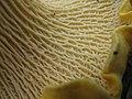 Cantharellus californicus 38131 Los Gatos.jpg