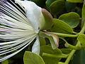 Capparis spinosa CBMen 04.jpg