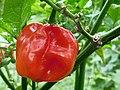 Capsicum chinense fruit.jpg