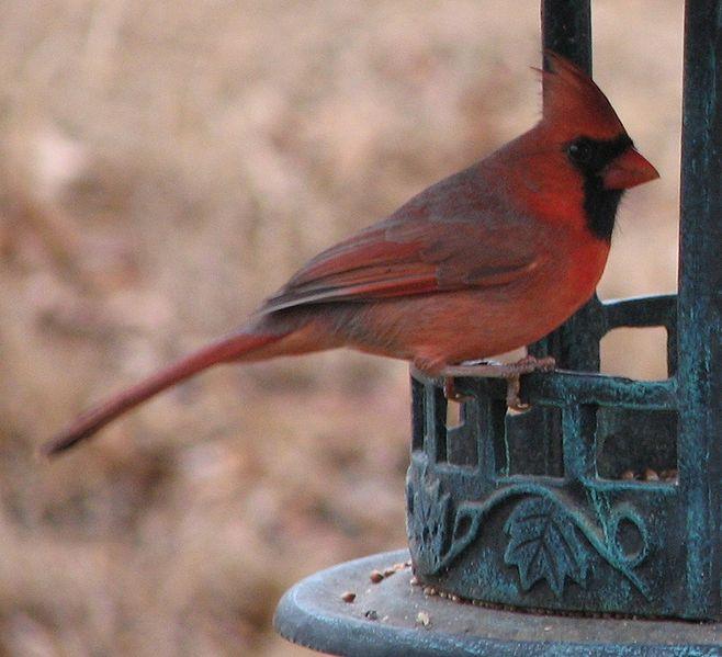 File:Cardinal1.jpg