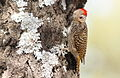 Cardinal Woodpecker - MALE, Dendropicos fuscescens at Pilanesberg National Park, Northwest Province, South Africa (14905294189).jpg