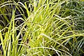 Carex elata Bowles Golden 1zz.jpg