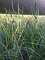 Carex melanostachya sl7.jpg