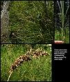 Carex paniculata (01).jpg