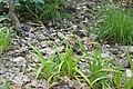 Carex strigosa kz14.jpg
