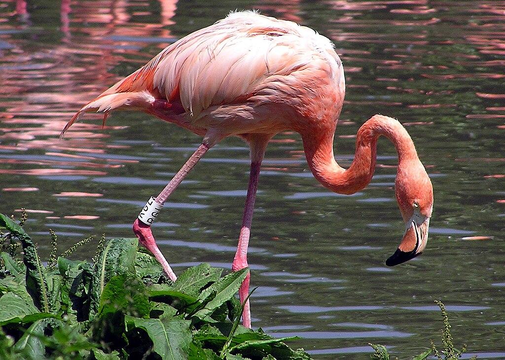 Der Kuba-Flamingo (Phoenicopterus ruber)   Bildquelle: https://commons.wikimedia.org/wiki/File:Caribbean_Flamingo.jpg © Arpingstone / Public domain   Bilder sind in der Regel urheberrechtlich geschützt