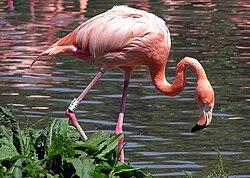 Flamingo Vikipediya