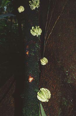 Früchte der kaulifloren Art Carpotroche platyptera.