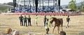 Carreras de caballos que tradicionalmente celebra Molledo en las fiestas de la Virgen del Camino.jpg