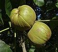 Carya laciniosa fruit.jpg