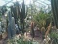 Caryophyllales - Cactaceae Kew Gardens - 3.jpg