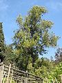 Casuarina glauca (villa Hanbury, Italy).jpg