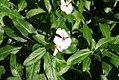 Catharanthus roseus 0zz.jpg