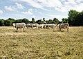 Cattle, Pylewell Park - geograph.org.uk - 1431762.jpg