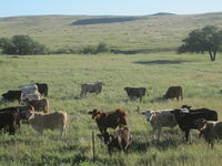 Cattle grazing Ochiltree County, TX IMG 6050