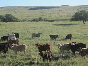Ochiltree County, Texas - Cattle grazing in Ochiltree County south of Perryton off U.S. Highway 83