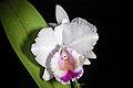 Cattleya quadricolor (38149175695).jpg
