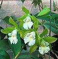 Cattleychea Siam Jade -香港北區花鳥蟲魚展 North District Flower Show, Hong Kong- (24061489712).jpg