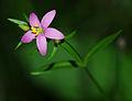 Centaurium erythraea - flora.jpg