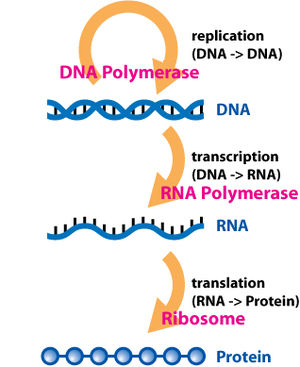 Three prime untranslated region - The flow of information within a cell.  DNA is first transcribed into RNA, which is subsequently translated into protein.