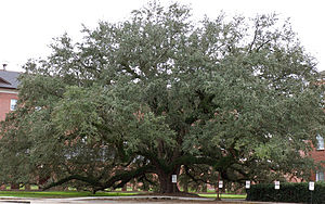 University of Louisiana at Lafayette - One of the numerous live oaks planted on the campus.