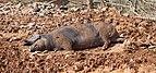 Cerdo negro canario.jpg