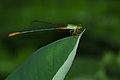 Ceriagrion cerinorubellum-Kadavoor-2016-02-05-001.jpg