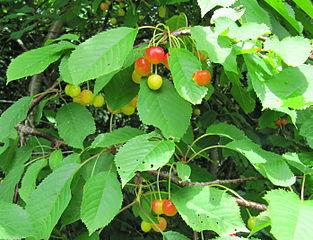 Čerešňa vtáčia - plody