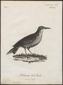 Certhilauda capensis - 1796-1808 - Print - Iconographia Zoologica - Special Collections University of Amsterdam - UBA01 IZ16100369.tif
