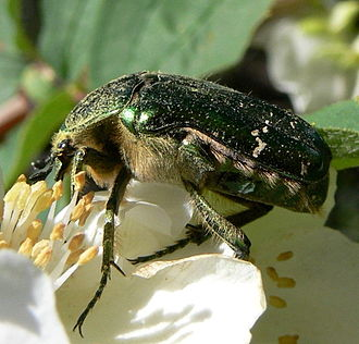 Flower chafer - Cetonia aurata, the green rose chafer