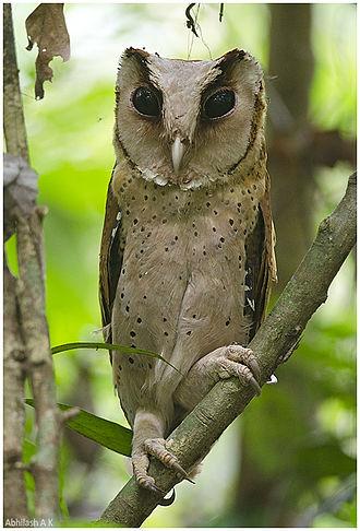 Bay owl - Image: Ceylon Bay Owl Abhilash Arjunan