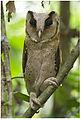 Ceylon Bay Owl Abhilash Arjunan.jpg