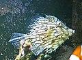 Chaetodermis penicilligerus 1.jpg
