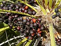 Chamaerops humilis (fruits).jpg