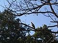 Changeable Howk Eagle - Nisaetus (cirrhatus) limmaaeetus - Jan07 081.jpg